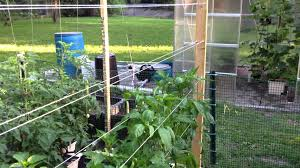 hydroponic peppers on a spanish trellis youtube