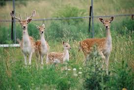 family of fallow deer jillybooks