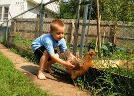 Chickens In The Backyard by Twin Cities Backyard Chickens Welcome Watchdog Says As Long As
