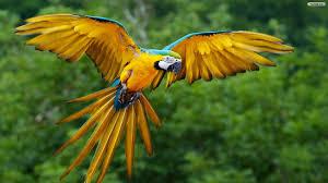 parrot flying wallpaper 1920x1080 13933