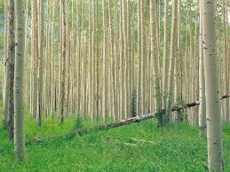 aspen tree wallpaper aspen tree