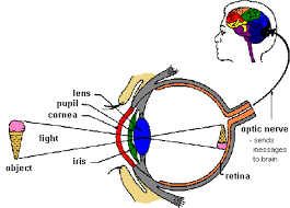 What Structure Of The Eye Focuses Light On The Retina Lens Light And Your Eyes