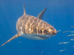 great white shark death on cape cod not caused by humans