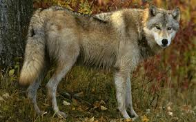 wolf jigsaw puzzles android apps on google play
