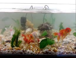 goldfish aquarium natural indoor pond tank fish pinterest