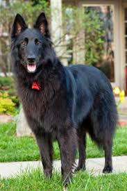 belgian shepherd dog temperament belgian sheepdogs belgian sheepdog breed info u0026 pictures petmd