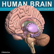 3d Human Anatomy 3d Model Human Brain Turbosquid 624395