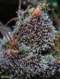 the importance of matured cannabis clear