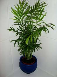 chamaedorea elegans parlour palm neanthe bella palm our