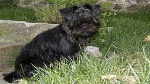 affenpinscher puppies cost affenpinscher loyal and makes a great dog americas top dog youtube