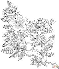 rosa eglanteria or sweet briar rose coloring page free printable