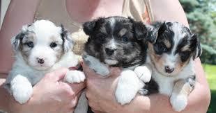 australian shepherd mini puppy gottabe aussies home