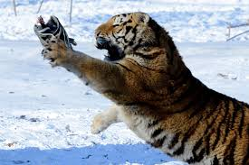 siberian tigers kill drone star2 com