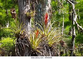 Florida vegetaion images Florida vegetation epiphyte stock photos florida vegetation jpg