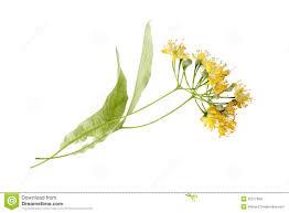 linden flower linden stock images image 25377364