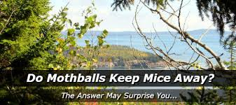 How Do I Get Rid Of Rabbits In My Backyard Do Mothballs Keep Mice Away How To Get Rid Of Mice