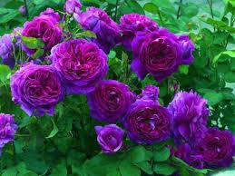 futaba purple climbing rose seed price in india buy futaba