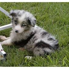 australian shepherd male names spring creek aussies a cute male miniature australian shepherd