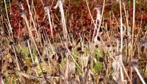 winter ornamental grass care a guide to landscape design