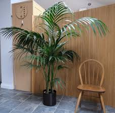 indoor palm indoor palm pot plant kentia large size 5 u0027 160cm 40 in oxford