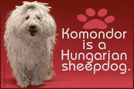 belgian sheepdog facts facts about komondors that u0027ll will have your jaw on the floor