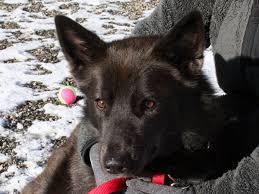 australian shepherd mixed with husky koda possible karelian bear dog australian shepherd husky mix
