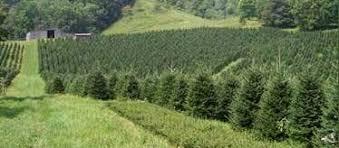 big ridge tree farm nc choose u0026 cut christmas trees pinterest