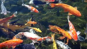 wallpaper ikan bergerak untuk pc koleksi gambar download wallpaper ikan bergerak untuk hp android