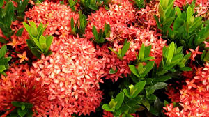 Tropical Plants Pictures - tropical plants ixora flowers youtube