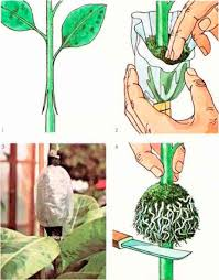 Vegetative Propagation By Roots - vegetative propagation greenhouse gardening