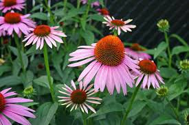 native plants for sale going native our top 10 native plants for houston