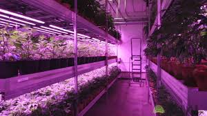 led marijuana grow lights cannabis vertical farm with led grow lights from bml horticulture
