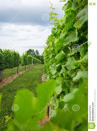 afton mountain vineyard trellis stock photo image 77356010
