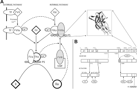 the tertiary structure and domain organization of coagulation