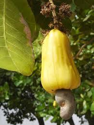 native plants in the tropical rainforest brazilian traditional medicine wikipedia