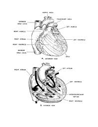 13 images of anatomical heart coloring page human anatomy