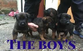 belgian sheepdog puppies price belgian shepherd puppies for sale 1 dog left redditch