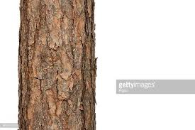 tree trunk stock photos and pictures getty images