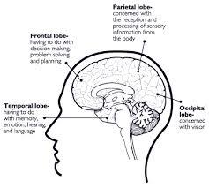 Image Of Brain Anatomy Brain Anatomy Nida For Teens