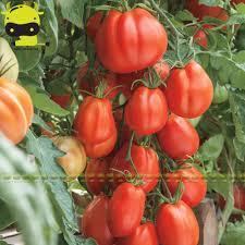 aliexpress buy 100 garden paste hybrid tomato seeds