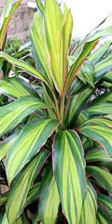 House Plants Diseases - daylilies in australia cordylines tropical plants diseases