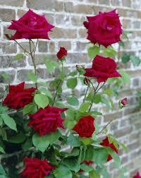 ena harkness climbing rose