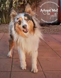 australian shepherd puppies rescue mikey 0169 628x800 jpg