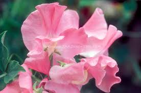 sweet peas flowers lathyrus odoratus angela sweetpeas plant flower stock