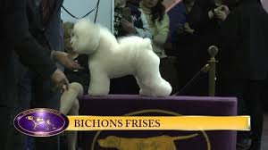 bichon frise 17 years old bichon frise westminster kennel club dog show 2016 youtube