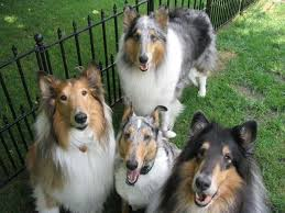 bearded collie mdr1 17 best images about collies on pinterest shetland sheepdog