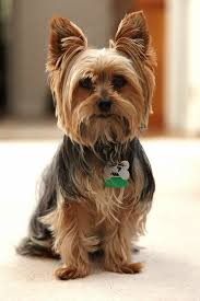 yorkie haircuts pictures only coco would look so much better with this hairstyle dog ideas