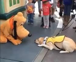 trainee guide dog meets hero pluto disneyland orlando