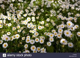 a large bed of daises growing wild in a field stock photo royalty