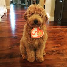 cute happy halloween pictures my goldendoodle cash happy halloween goldendoodle